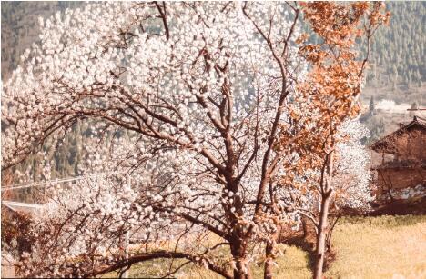 广元市沙河镇的5000余亩樱花竞相开放